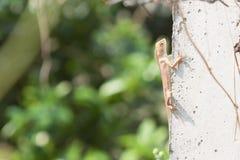 Tajlandia kameleon na cementowym słupie Fotografia Royalty Free