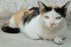 Tajlandia kot lub Cycowy Patrzejący nadzieję zdjęcie stock