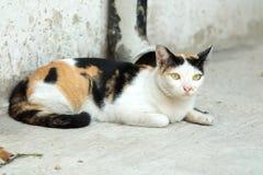 Tajlandia kot lub Cycowy Patrzejący nadzieję obraz stock