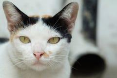 Tajlandia kot lub Cycowy Patrzejący nadzieję zdjęcia stock