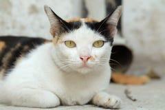 Tajlandia kot Patrzeje nadzieję zdjęcia stock