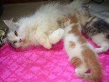 Tajlandia śliczny kot breastfeeding Obraz Royalty Free
