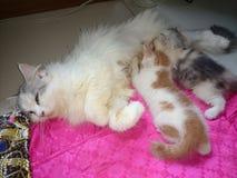 Tajlandia śliczny kot breastfeeding Obrazy Royalty Free