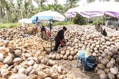 Tajlandia lokalni pracownicy struga wiele koks od gospodarstwa rolnego na wyspy Koh Phangan stosach dokrętki z grotu nożem Zdjęcie Royalty Free