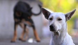 Tajlandia Psi Patrzejący nadzieję fotografia royalty free