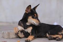 Tajlandia Psi Patrzejący nadzieję - obrazy stock