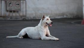 Tajlandia Psi Patrzejący nadzieję fotografia stock
