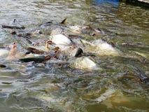 Tajlandia ryba w rzece Fotografia Stock