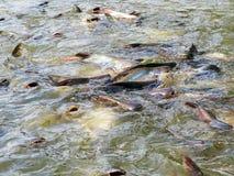 Tajlandia ryba w rzece Obraz Royalty Free