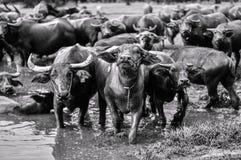 Tajlandzcy bizony Zdjęcie Royalty Free