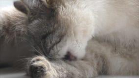 Tajlandzcy kotów obmycia zdjęcie wideo