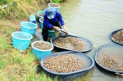 Tajlandzcy ludzie aquaculture cockle łapanie dla sprzedaży i gospodarstwa rolnego Obrazy Stock