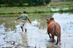 Tajlandzcy ludzie napędzają walczącego byka iść odpowiadać dla jedzą trawy Zdjęcie Stock