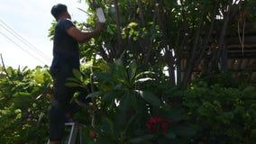 Tajlandzcy mężczyźni zaludniają uprawiać ogródek i ciąć przycinający gałęziastego Plumeria drzewa w ogródzie przy przodem dom prz zdjęcie wideo