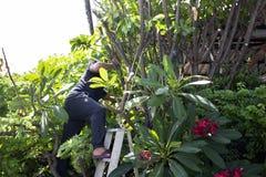Tajlandzcy mężczyźni zaludniają uprawiać ogródek i ciąć przycinający gałęziastego Plumeria drzewa w ogródzie przy przodem dom prz obraz royalty free