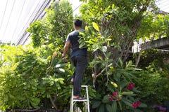 Tajlandzcy mężczyźni zaludniają uprawiać ogródek i ciąć przycinający gałęziastego Plumeria drzewa w ogródzie przy przodem dom prz zdjęcia stock