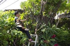 Tajlandzcy mężczyźni zaludniają uprawiać ogródek i ciąć przycinający gałęziastego Plumeria drzewa w ogródzie przy przodem dom prz zdjęcie royalty free