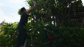 Tajlandzcy mężczyźni zaludniają uprawiać ogródek i ciąć przycinający gałęziastego Plumeria drzewa w ogródzie przy przodem dom prz zbiory wideo