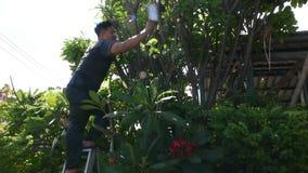 Tajlandzcy mężczyźni zaludniają uprawiać ogródek i ciąć przycinający gałęziastego Plumeria drzewa w ogródzie przy przodem dom prz zbiory
