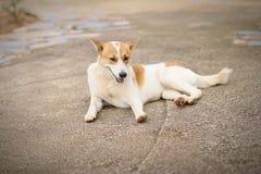 Tajlandzcy psy siedzą na ulicie obrazy stock