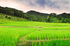 Tajlandzcy ryż segregujący Zdjęcia Royalty Free