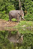 Tajlandzcy słoni stojaki obok jeziora w dżungli, Tajlandia Zdjęcie Stock