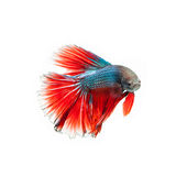 Tajlandzka bój ryba piękny kolor fotografia stock