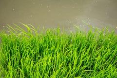 Tajlandzka Jaśminowa Ryżowa roślina w polu z wody powodziowej flancowania rolnictwem Obrazy Royalty Free