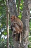 Tajlandzka małpa Zdjęcia Royalty Free