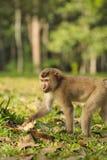 Tajlandzka małpa Zdjęcie Royalty Free