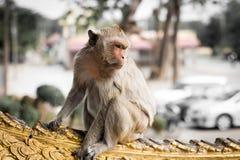 Tajlandzka małpa Obrazy Royalty Free
