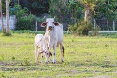 Tajlandzka macierzysta krowa z młody łydkowy odpoczywać w polu Zdjęcia Royalty Free