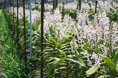 Tajlandzka orchidea Flowers-25 Zdjęcie Stock