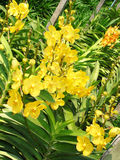 Tajlandzka orchidea Flowers-06 Fotografia Stock