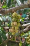 Tajlandzka owoc Siedząca i Longgong Obraz Royalty Free