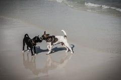 Tajlandzka pies sztuka na plaży Zdjęcia Royalty Free