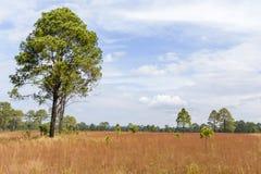 Tajlandzka sawanna przy Thung Salaeng Luang parkiem narodowym Zdjęcia Royalty Free