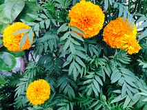 Tajlandzki żółty kwiat Zdjęcie Royalty Free