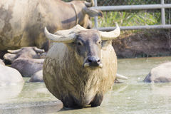 Tajlandzki bizon Obraz Royalty Free