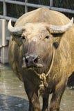 Tajlandzki bizon Zdjęcia Stock
