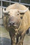 Tajlandzki bizon Obraz Stock