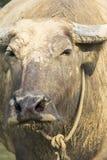 Tajlandzki bizon Zdjęcia Royalty Free
