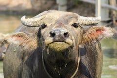 Tajlandzki bizon Zdjęcie Royalty Free