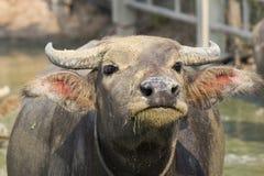 Tajlandzki bizon Zdjęcie Stock