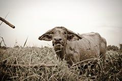 Tajlandzki bizon obrazy royalty free