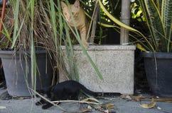 Tajlandzki domowy dziecko kota bawić się, bieg i skok w ogródzie Obraz Stock