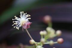 Tajlandzki egzotyczny kwiat Obraz Royalty Free