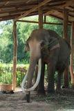 Tajlandzki elelphant Zdjęcia Royalty Free