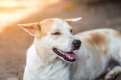 Tajlandzki genu pies obrazy stock