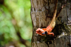 Tajlandzki kameleon na kokosowym drzewie Fotografia Royalty Free